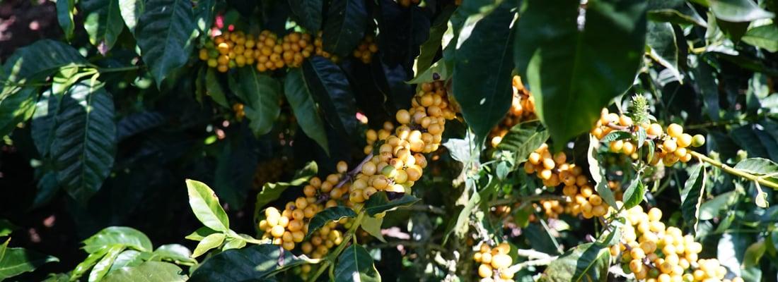 Äthiopien Kaffeekirschen am Strauch