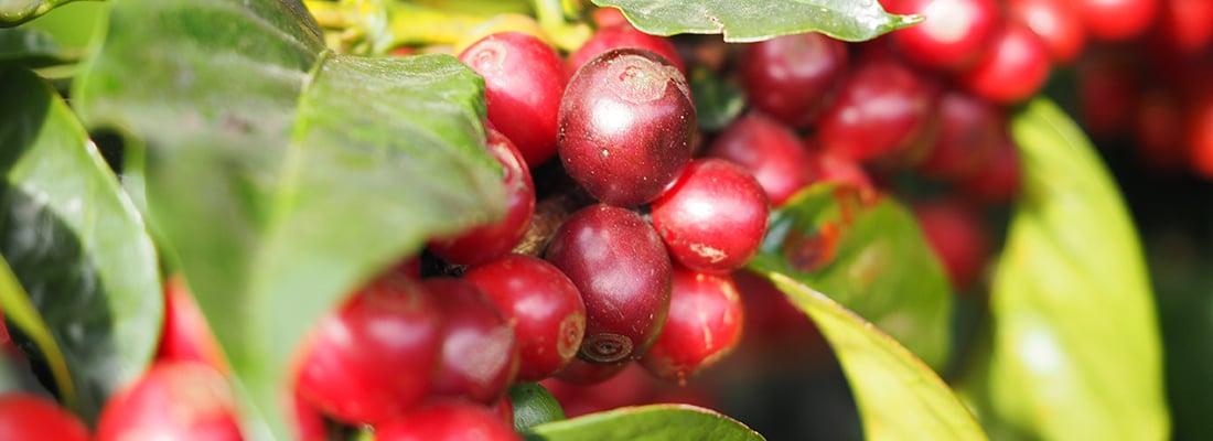 Honduras Kaffeekirschen