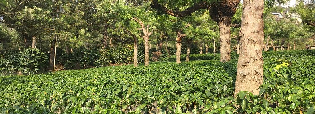 Peru Kaffeeplantage